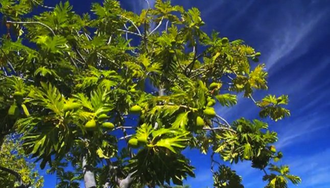 Kukui'ula Video: Tales of breadfruit