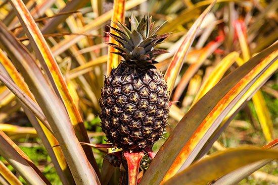 the farm at kukuiula pineapple