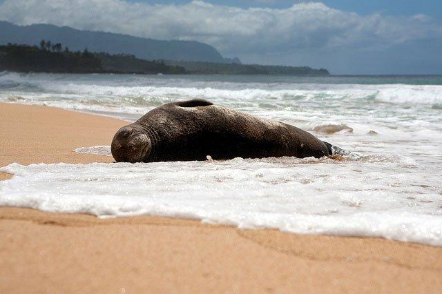 Monk Seal on sand