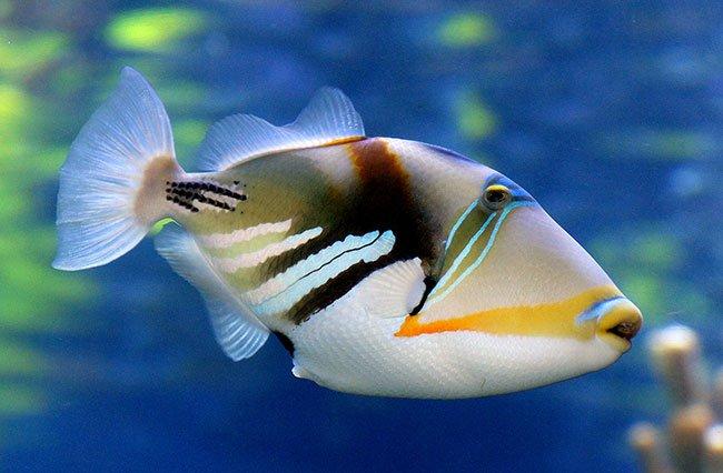 Kauai State Fish