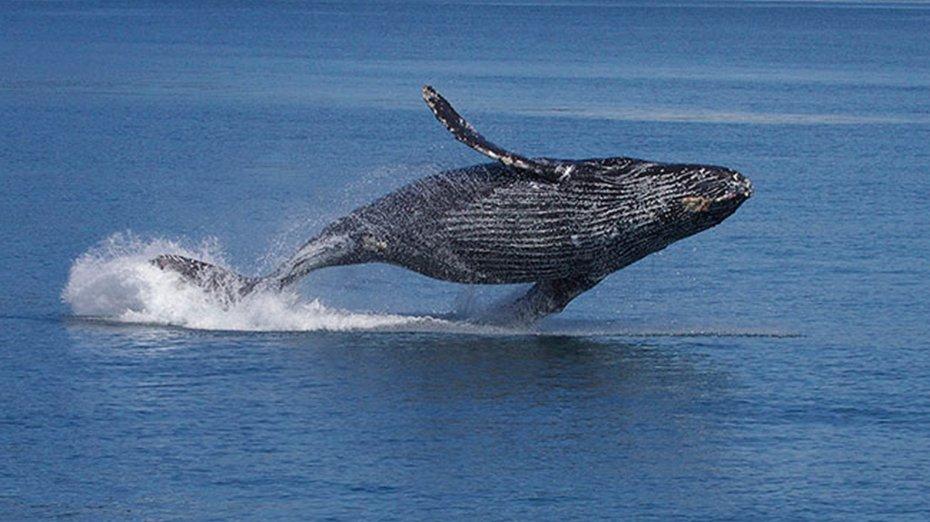 humpback whale kauai