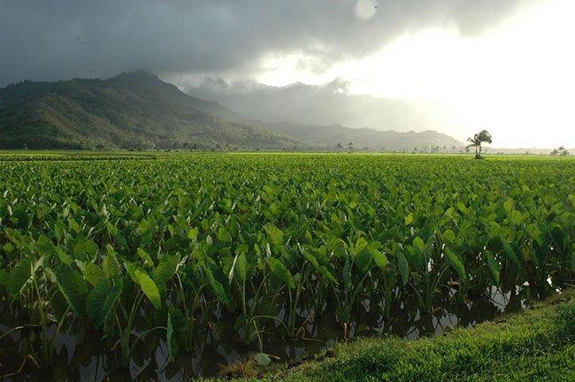 Taro Fields in Hanalei